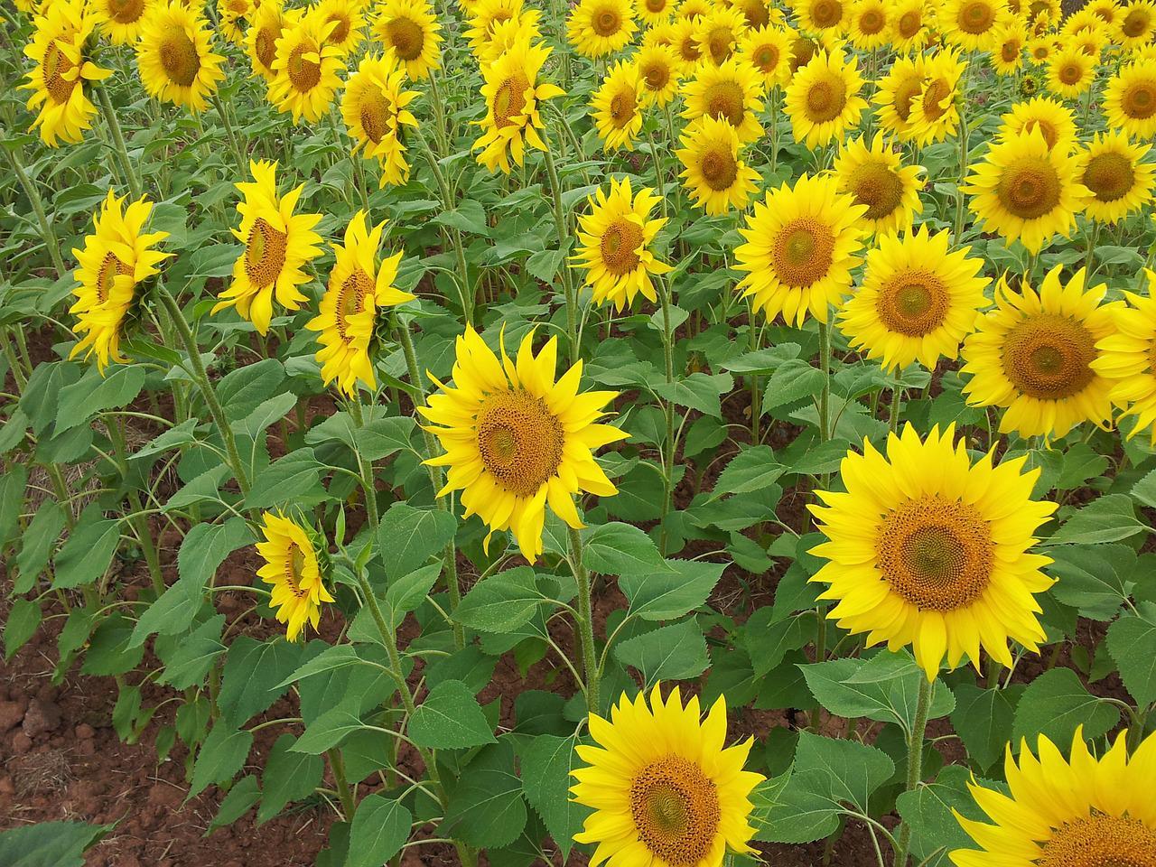 combustíveis renováveis